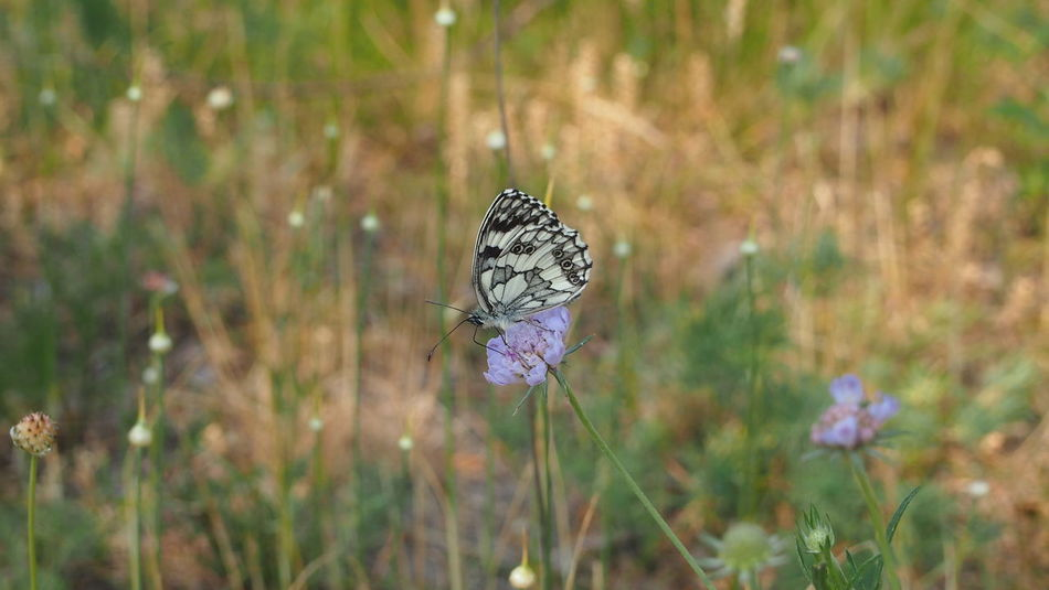 Black And White Butterfly Melanargia Galathea Nature Photography Beauty In Nature Grass One Animal Outdoors Pink Flower