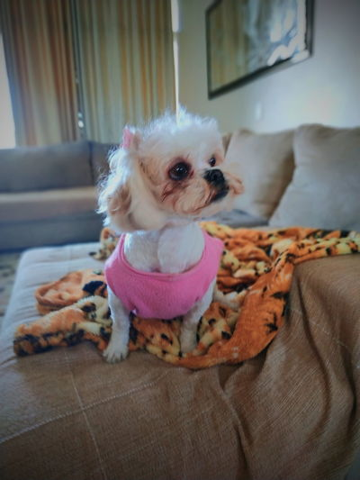 Shihtzu Xiaomi Redminote5pro Goodmorning :) Lilica 10 Litoralnorte Bomdia EyeEm Selects Pets Portrait Sitting Dog Cute Looking At Camera Close-up Shih Tzu Small Pet Clothing Puppy