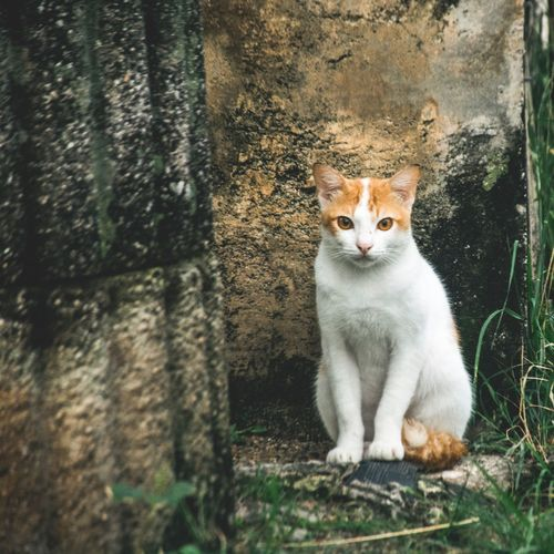 Domestic Cat One Animal Pets Domestic Animals Feline Animal Themes Sitting Mammal Portrait Looking At Camera No People Day Outdoors Ginger Cat Close-up