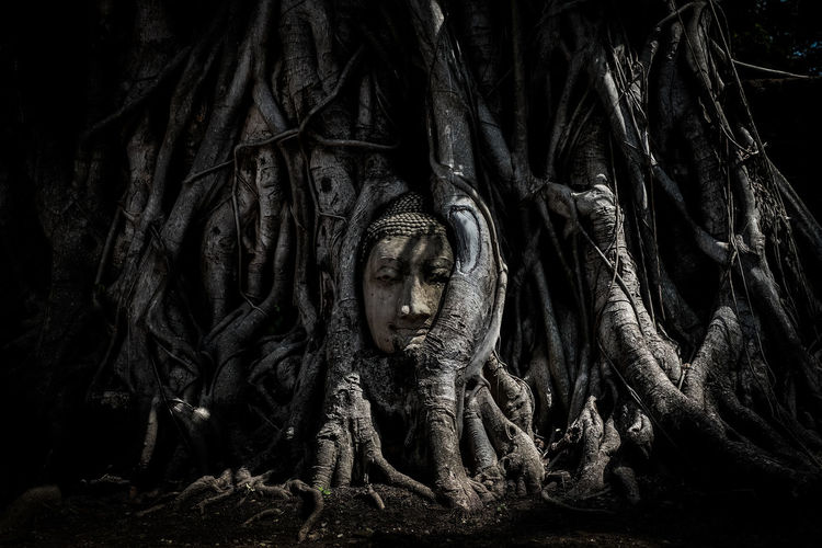 """Magical head of sandstone buddha in trunk or roots tree at """"Wat Mahathat"""" (Ayutthaya Province - Thailand) - vintage or black & white concept. Ayutthaya Buddha Buddhist HEAD Magical Thai Thailand Tree Wat Mahathat Ayutthaya Historic Park Background Black And White Buddhism Concept Province Roots Sandstone Texture Trunk Vintage"""