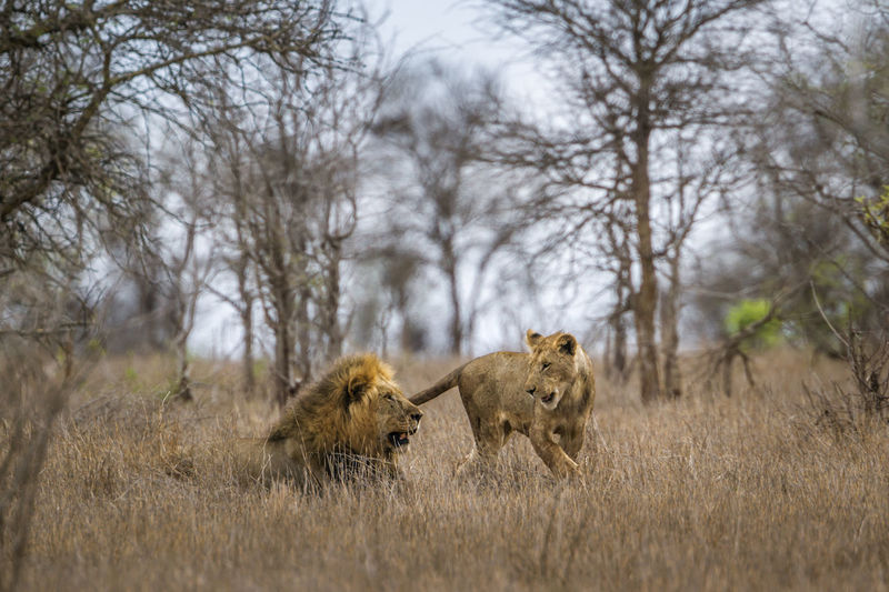 View of lioness with lion in forest