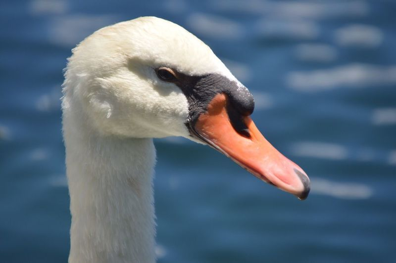 Close-Up Of Mute Swan Against Lake