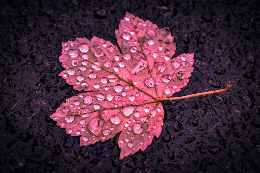 Flower Head Flower Water Black Background Petal Drop Pink Color Leaf Wet Close-up RainDrop Rainfall Leaf Vein Focus Leaves Soft Plant Life Rainy Season