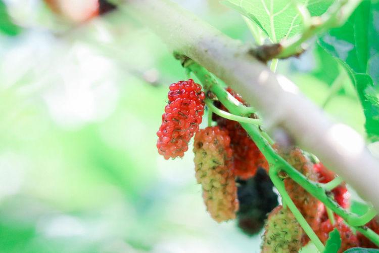 Mulberry fresh