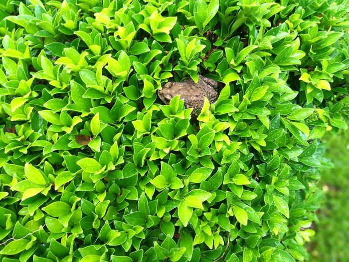 Toad Toad In Tree Toad Rest Toad Life Green Color Leaf Nature Day Outdoors Plant Backgrounds Full Frame Growth No People Close-up Beauty In Nature Freshness