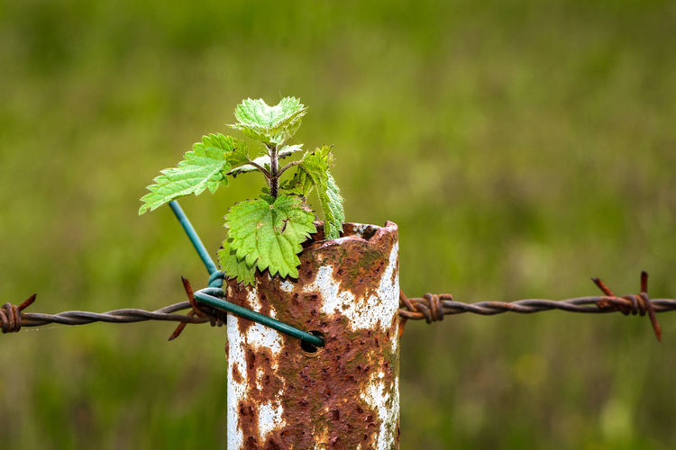 Die Narur gewinnt Barbed Wire Brennnessel Fence Green Green Color Grün Metal Metallic Nature Nature No People Outdoors Rust Rusty Stinging Nettle Transience