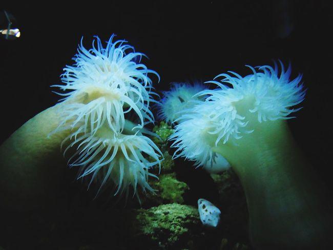 イソギンチャク 沖縄 美ら海水族館