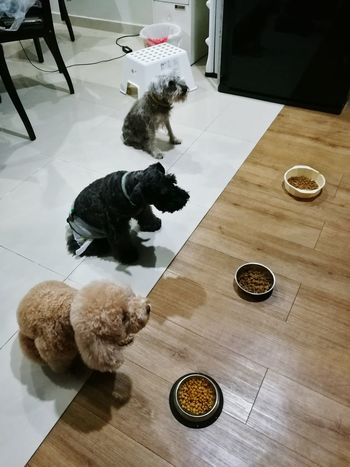 Obedience Pets Domestic Animals One Animal Black Color Domestic Cat Dog Mammal Indoors  Animal Themes No People Anthropomorphic Day Schnauzer Poodle🐩 Poodle Schnauzerlife Schnauzermoments Pet Portraits