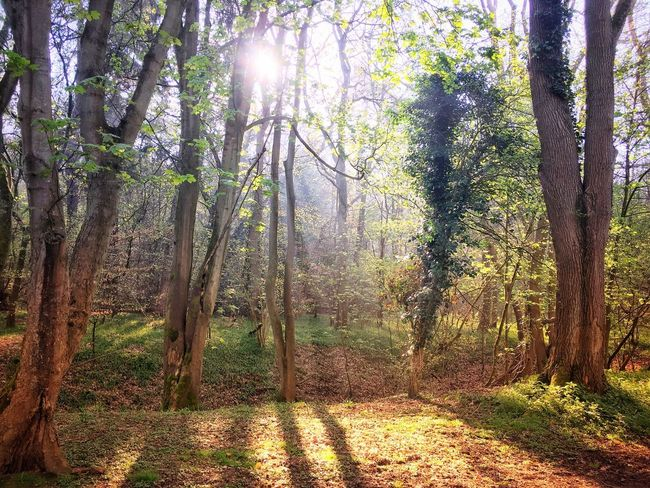 Spring light Tree Plant Growth Sunlight Nature Forest Day Beauty In Nature No People Sunbeam WoodLand Scenics - Nature Tree Trunk