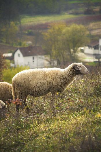 Sheep grazing grass in an open summer field Animal Themes Beauty In Nature Day Domestic Animals Field Grass Grazing Livestock Mammal Nature No People Outdoors Sheep