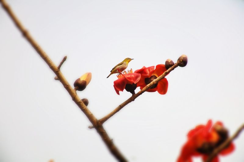 Low Angle View Of Oriental White-Eye Perching On Red Flowers Against Clear Sky