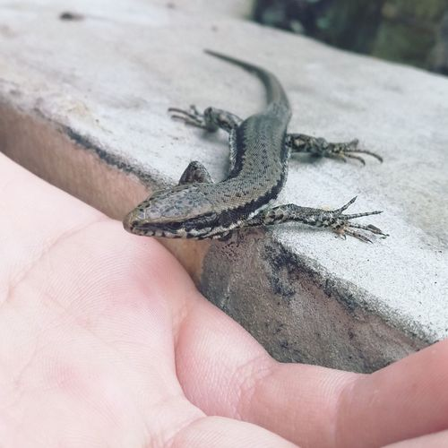 Lizzardcollection Lizzard Naturelovers Lizard Lizard Watching Nature Photography Nature_collection Naturelovers Nature Hobbyphotography Hobbyphotographer Reptile Photography Reptile Backjards Animal Photography Huaweimate9 Leica Lens Outdoors No People Close-up One Animal Animal Themes
