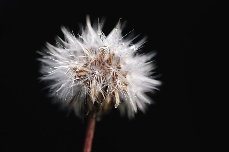 """Dandelion"" Flower Fragility Flower Head Dandelion Close-up Nature Petal Beauty In Nature Freshness Black Background Growth Softness Macro Photography Plant No People Focus On Foreground Springtime Night Outdoors Macro Makro Michael Hruschka Canon Pusteblume Black"