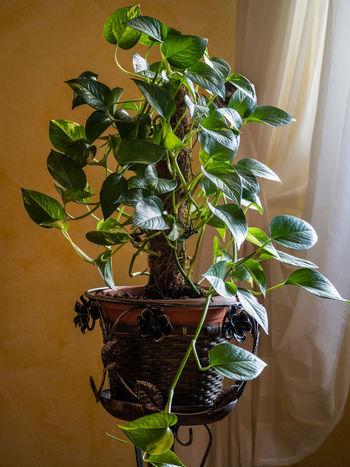 Potos Indoors  Plant Growth No People Home Interior Nature Close-up Freshness Leaf Potos