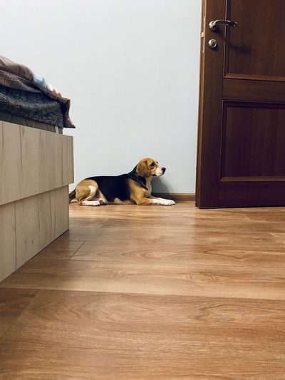 Dog relaxing on wooden floor