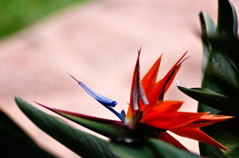 Bird of paradisw. Hawaii. Nature Flower Close Up