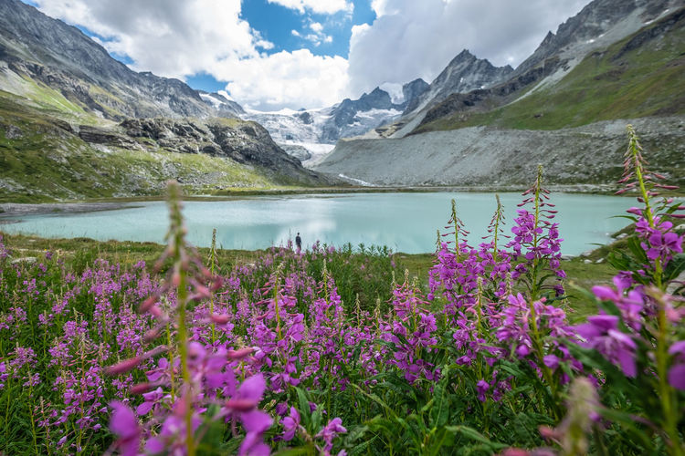 Purple flowering plants by lake against mountains