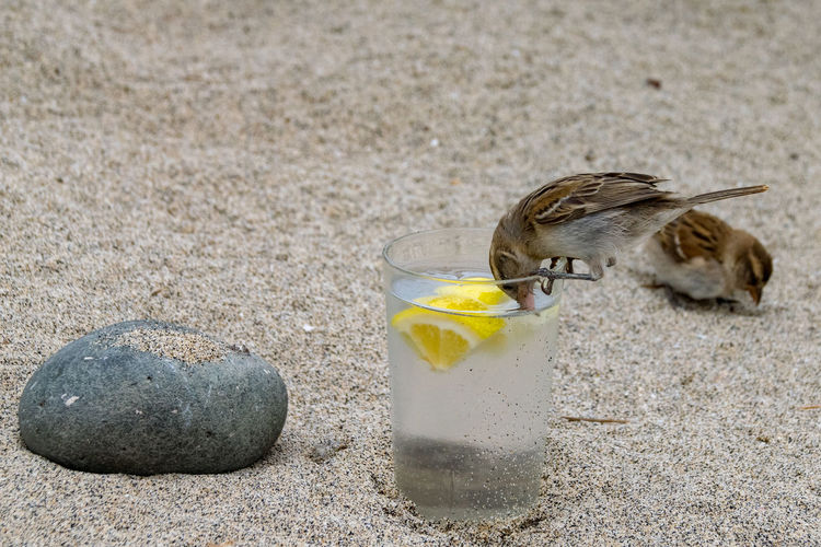 Wild sparrow drinking out of a plastic glass of gin and tonic Plastic Plastic Beaker Plastic Glass GIN Gin & Tonic Gin Tonic Gin And Tonic Alcohol Alcoholic Drink Animal Themes Animal Wildlife Animals In The Wild Beach Bird Close-up Day Food And Drink Gin And Lemon Gin And Sprite Mammal Nature No People One Animal Outdoors Sand Sparrow Sparrow Bird Sparrows End Plastic Pollution