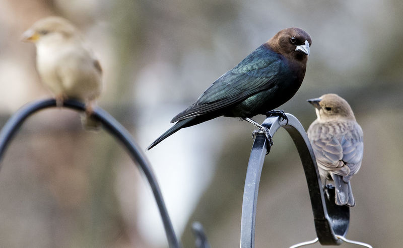 Three perching Red-Headed Cowbird Three Birds Animal Themes Animal Wildlife Animals In The Wild Bird Close-up Cowbird Day Focus On Foreground Nature No People Outdoors Perching Sparrow
