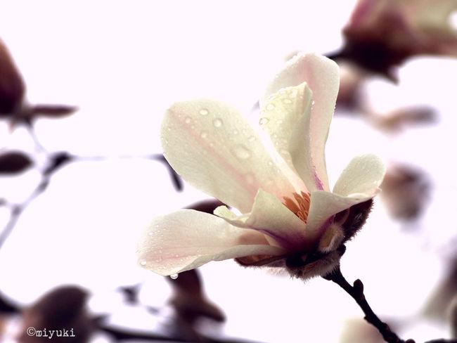 kobushi magnolia Magnolia-report-2015 Flowerporn EyeEm Nature Lover Magnolia