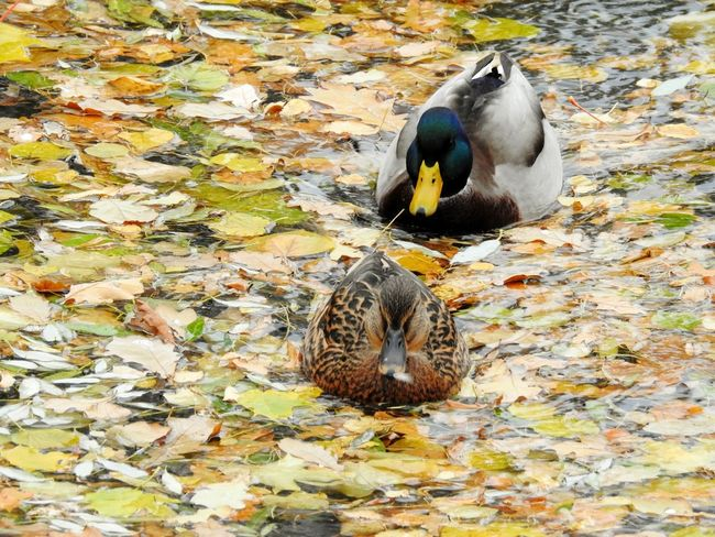 Autumn🍁🍁🍁 October Fifty Shades Of Yellow Ducks😄 Swimming Canal Tavrichesky Garden Park Travel Destinations Colors Of Sankt-Peterburg Sankt-Petersburg Russia