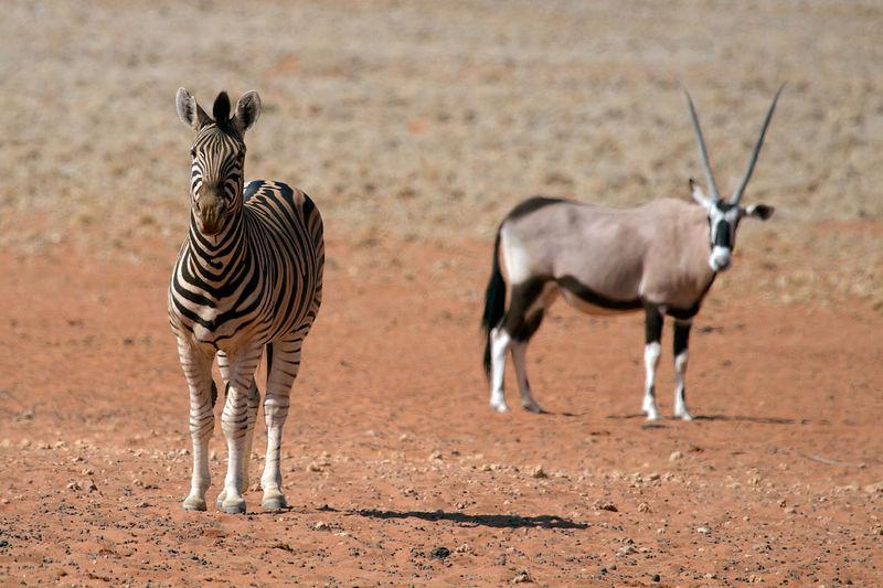 Zebra and oryx on field