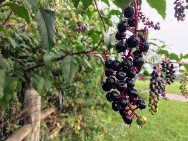 Dew Morning Pokeweed Abundance Agriculture Bunch Day Do Not Eat Fence Row Field Focus On Foreground Food Freshness Fruit Growth Hanging Leaf Nature No People Outdoors Poisonous Plant Red Ripe