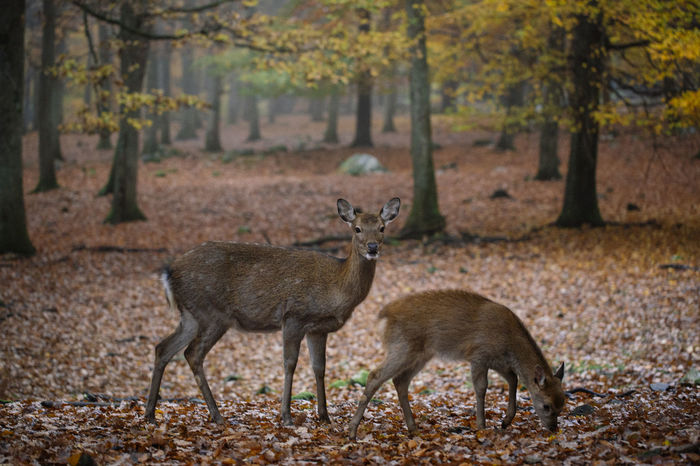Deer Deers Deersighting Deer Moments Reh Autumn Leaves Autumn Beauty In Nature Beautiful Nature Portrait Blurred Background Focus On Foreground Fawn