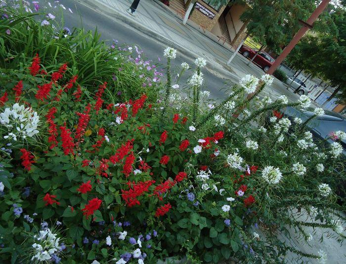 White & Red лето сальвия Été Summer Flowers Fleurs August цветы