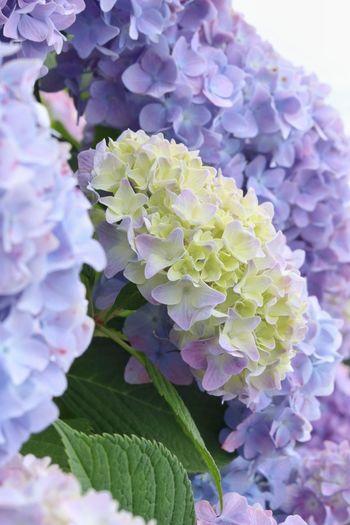 EyeEm Nature Lover EyeEm Gallery EyeEm Best Shots - Nature EyeEm Flower Japan Japan Photography 日本 花 紫陽花 Flower Flower Head Leaf Purple Petal Close-up Plant