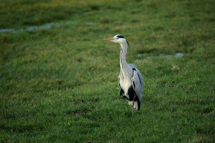 High angle view of gray heron on field