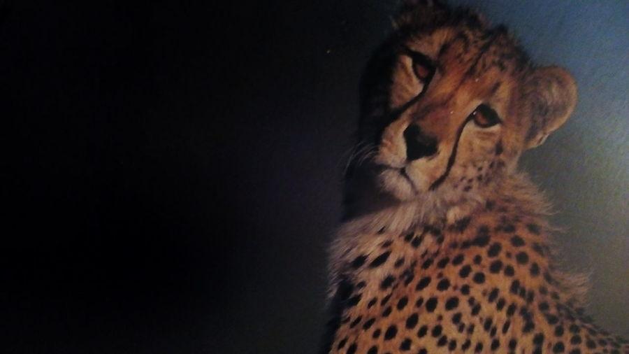A Cheetah Looking So Sad Beautiful Wild Cat Cheetah Portrait Black Background Safari Animals Feline Spotted Close-up
