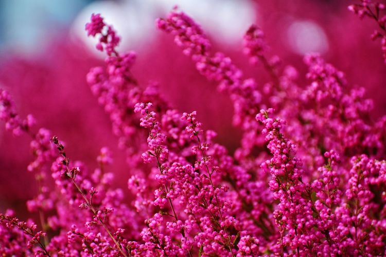 pink flowers with blur background in autumn in sopot Blur Pink Autumn Season  Magenta Flower Head Flower Purple Close-up Plant In Bloom Stamen Blossom Botany Pollen Petal Blooming Plant Life