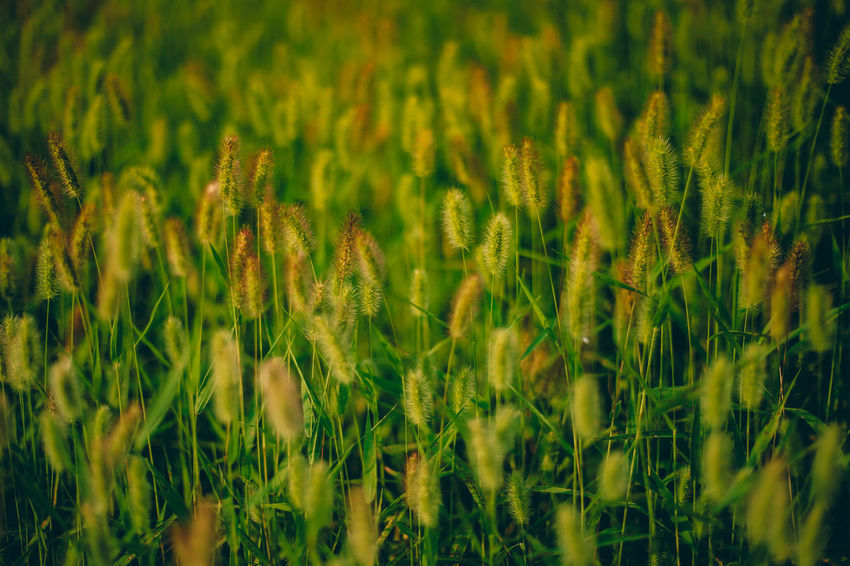 // summer green // Grass Green Summer Views Summertime Textured  Textures And Surfaces Abstract Agriculture Beauty In Nature Close-up Day Field Freshness Full Frame Grass Green Color Growth Nature No People Outdoors Plant Summer Wallpaper
