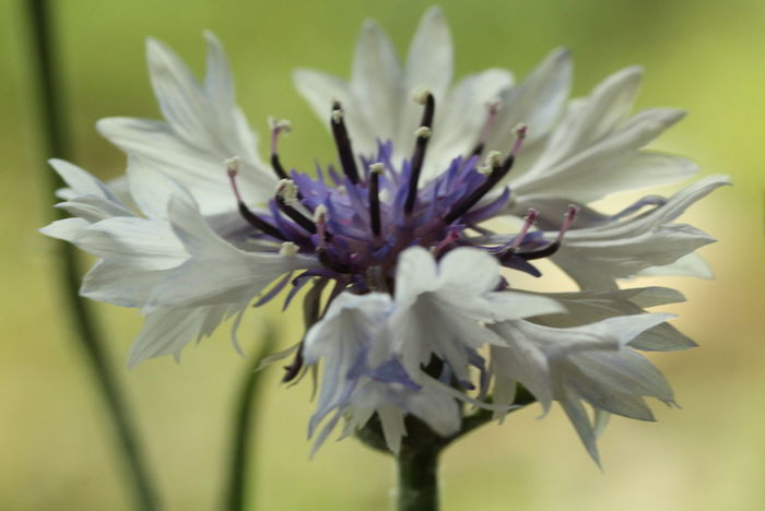 Beauty In Nature Blooming Close-up Cornflower Day Flower Flower Head Fragility Freshness Growth Kornblume Nature No People Outdoors Petal Plant