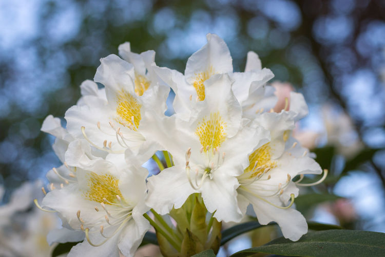 Close-up of white rhododendron flower in full bloom in a garden Flowering Plant Flower Plant Vulnerability  Fragility Beauty In Nature Freshness Close-up Petal White Color Focus On Foreground Growth Nature Inflorescence Day Flower Head No People Outdoors Springtime Tree Pollen Bunch Of Flowers Rhododendron Yellow Stigma