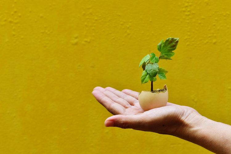 Cropped hand holding sapling against yellow wall