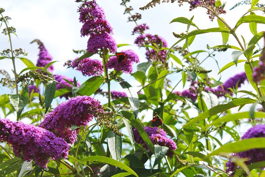 Butterfly Bush Purpel Tiny Flowers Butterflybush Butterflies Butterfly Beautiful Nature Looking Up Over My Head Enjoying Life