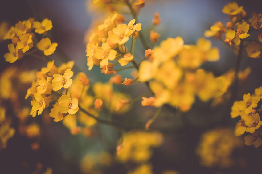yellow beauty Beauty In Nature Close-up Day Flower Flower Head Flowering Plant Focus On Foreground Fragility Freshness Growth Inflorescence Nature No People Outdoors Petal Plant Selective Focus Tranquility Vulnerability  Yellow