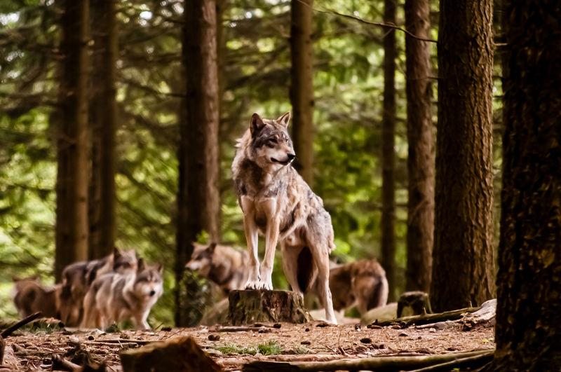 Wolfsrudel im