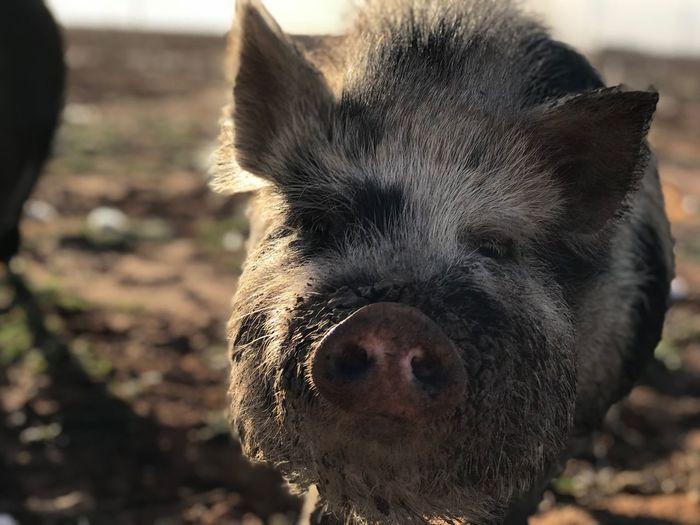 Pig EyeEm