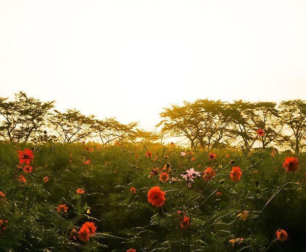 Flower Clear Sky 朝日 Sky Sun Sunset