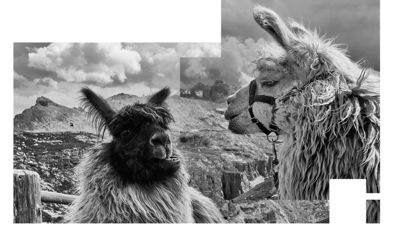Parts of One Another Alertness Animal Animal Body Part Animal Hair Animal Head  Animal Themes Blackandwhite Close-up Communication Day Design Dynamics Focus On Foreground Frame Graphic Llamas Mammal Modern Nature No People Outdoors Portrait Relationships Sky Whisker The Great Outdoors - 2017 EyeEm Awards