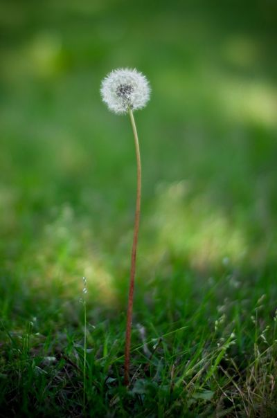 Beauty In Nature Close-up Dandelion Day Field Flower Flower Head Fragility Freshness Grass Green Color Growth Nature No People Outdoors Plant Uncultivated