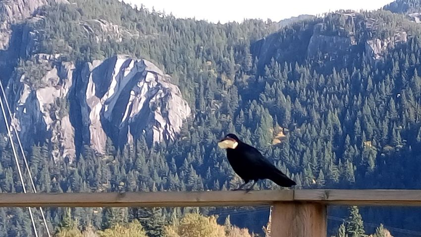 The Raven Breadwinner I Got My Eyes On You Perching Anticipation What Will Happen Mountainview