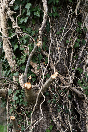 Efeu Fé Baum Bewachsen Branch Close-up Efeu Auf Stamm Geflecht Mystery Nature Tree Tree Trunk Urwald