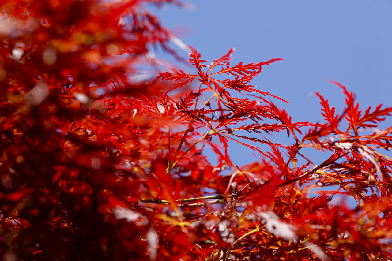 autumn, change, red, plant, tree, beauty in nature, selective focus, plant part, growth, leaf, day, no people, close-up, nature, branch, maple leaf, tranquility, sky, low angle view, outdoors, leaves, natural condition, autumn collection