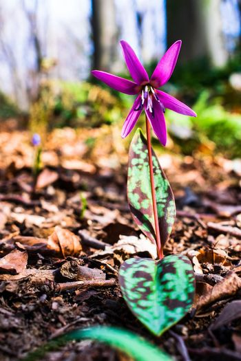 Dogtoth flower. Flower Head Flower Leaf Close-up Plant Growing Young Plant Plant Life Blooming