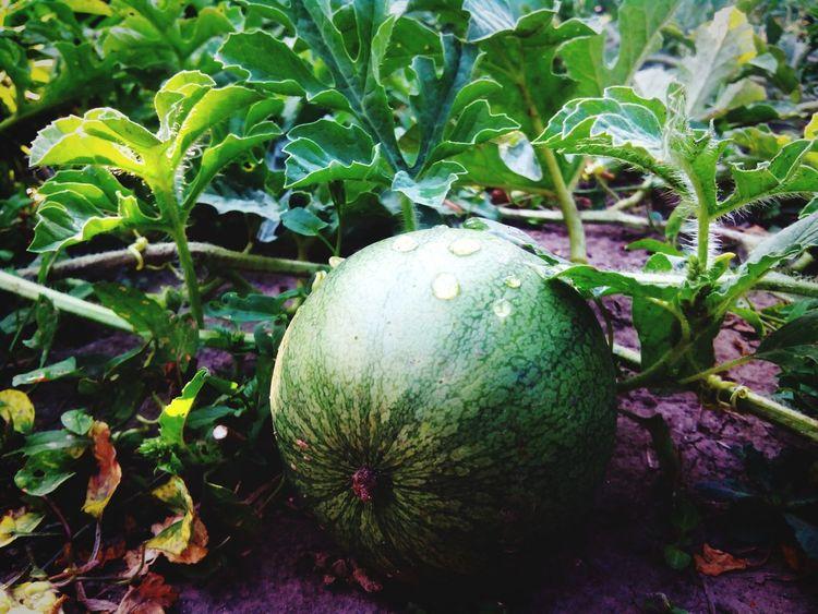 Арбуз грядка зеленый Watermelon🍉 Watermelon Green Green Color Garden Bed Garden Summer