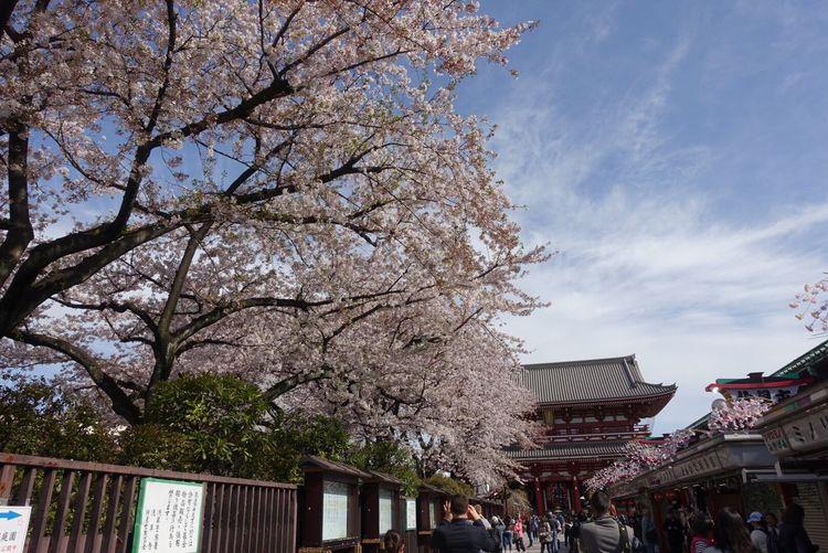 Blossom Sky Flower Beauty In Nature Springtime Nature Travel Destinations Sakura Blossom Tokyo